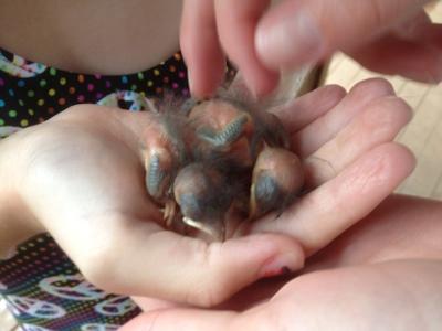Baby Blue Birds